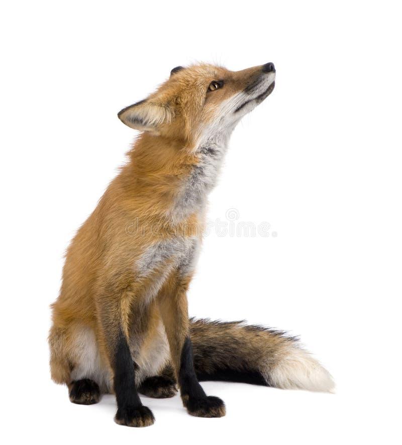 4 röda vulpesår för räv royaltyfri foto