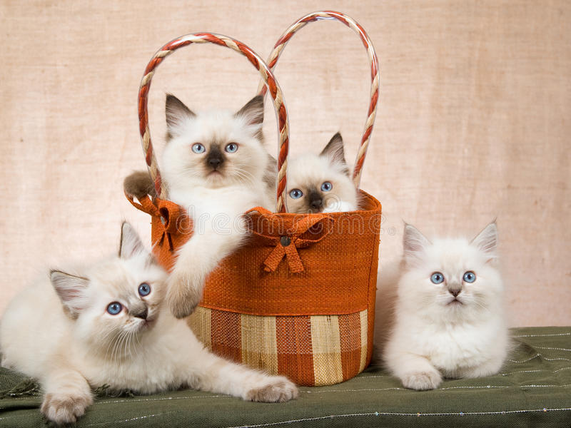 Download 4 Ragdoll Kittens In Brown Handbag Stock Image - Image: 9764083