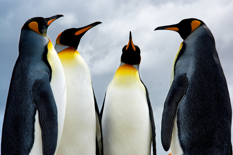 4 rei pinguins fotografia de stock