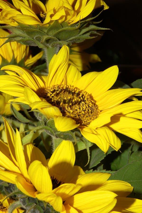 4 słonecznik zdjęcie royalty free