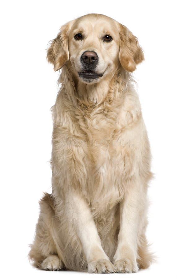 4 sittande år labrador för gammal retriever royaltyfria foton