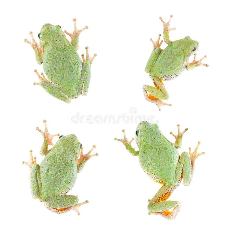 4 uwagi na drzewie odizolowane żaba obrazy stock