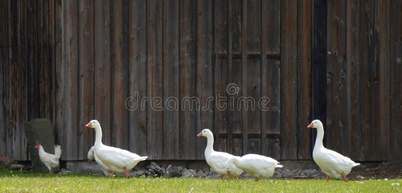 4 White Goose Free Public Domain Cc0 Image
