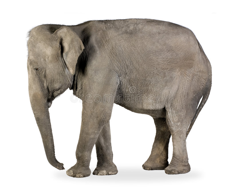 40 лет maximus elephas азиатского слона стоковое фото