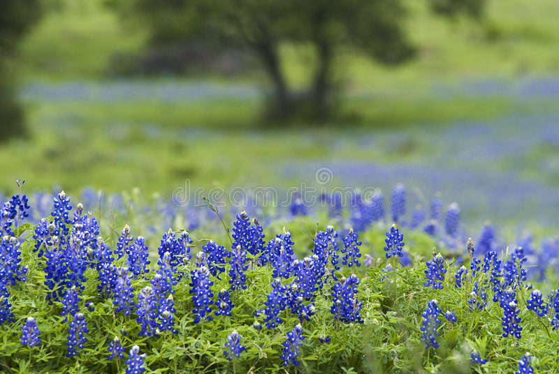 Download 43 Bluebonnets & Tree stock photo. Image of live, state - 7887612