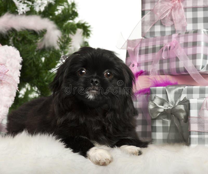 5个位于的月pekingese小狗 免版税库存照片