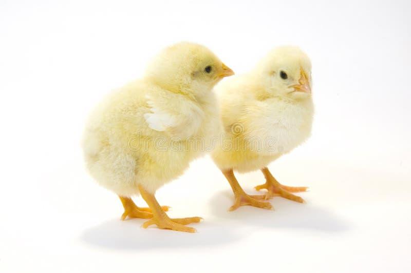 5个婴孩背景小鸡对白色 库存照片