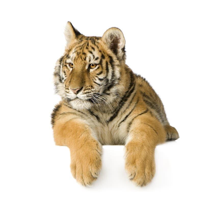 5个崽月老虎 免版税库存图片