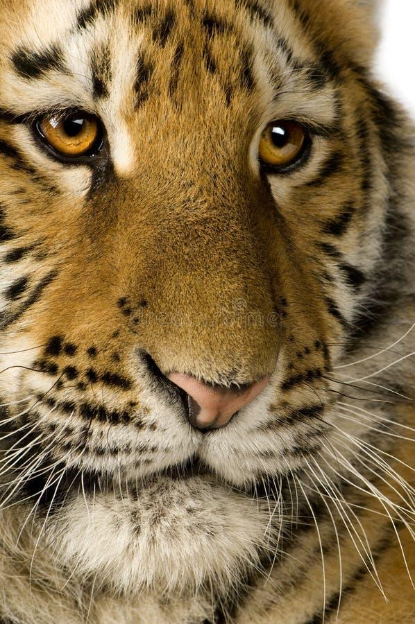 5个崽月老虎 免版税图库摄影