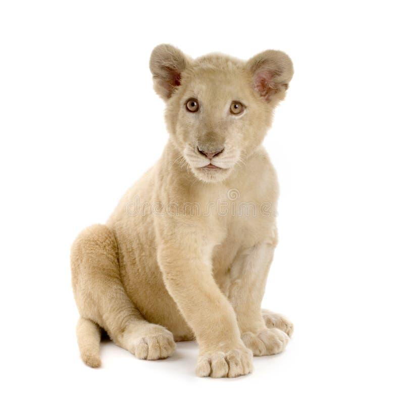 5个崽狮子月空白 免版税库存图片