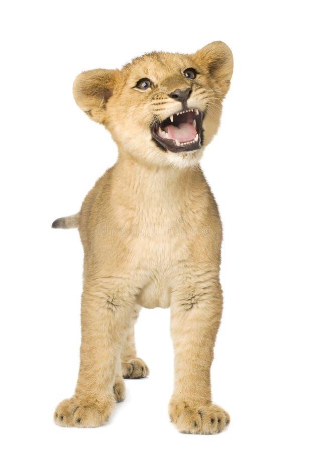 5个崽狮子月 免版税库存图片