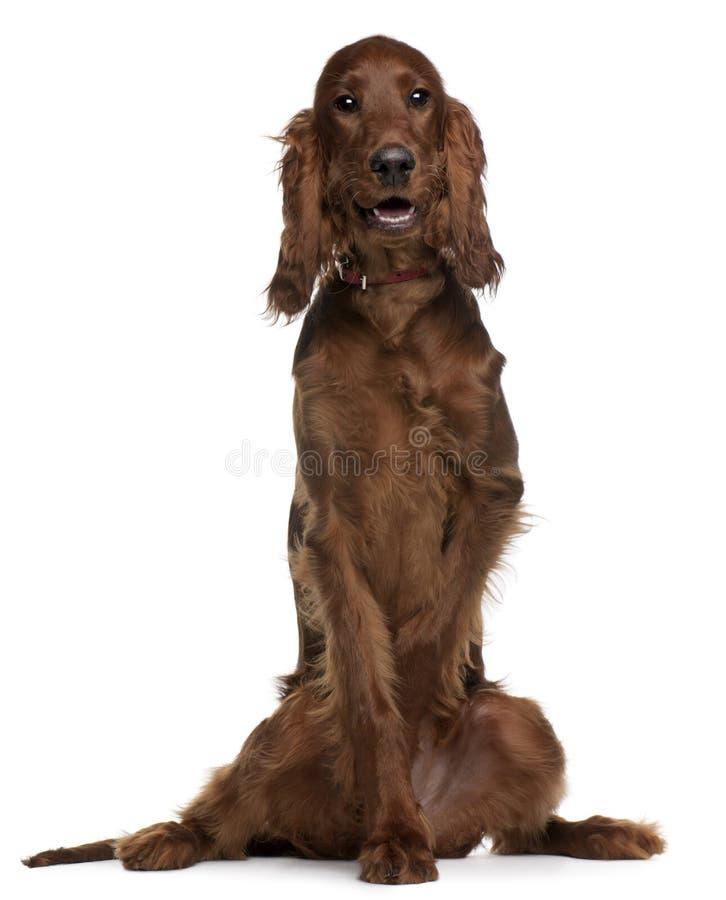 5个爱尔兰月小狗安装员开会 库存照片