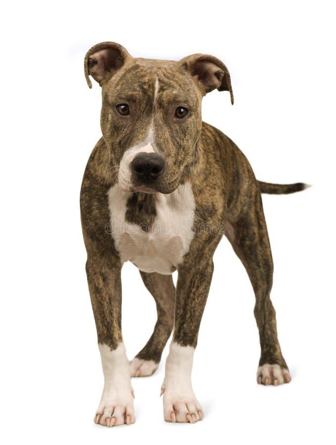 5个美国月小狗斯塔福郡狗 免版税库存照片