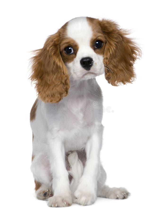 5个骑士查尔斯国王月西班牙猎狗 免版税库存照片
