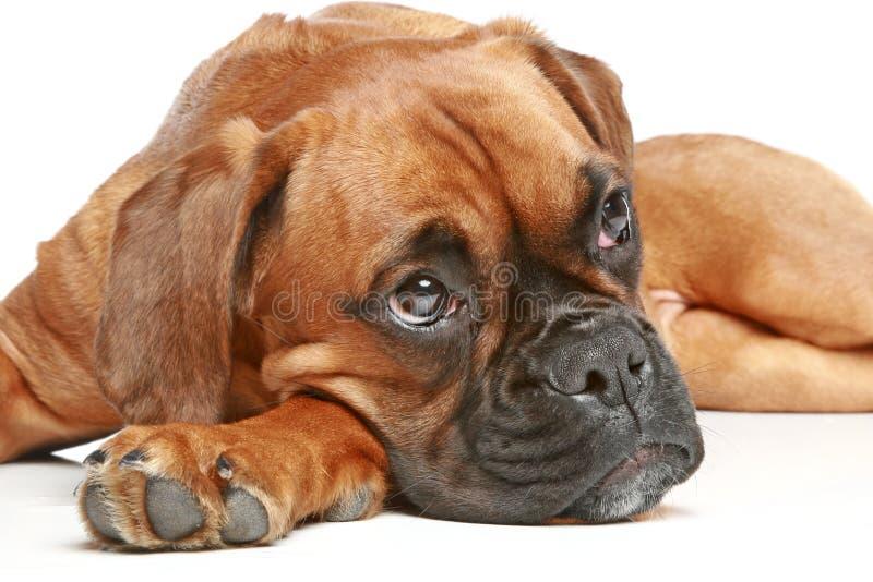 5位周道拳击手德国月的小狗 免版税库存照片