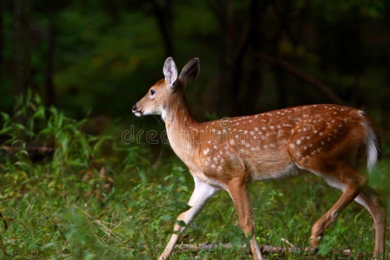 5只小鹿夏天 免版税库存图片