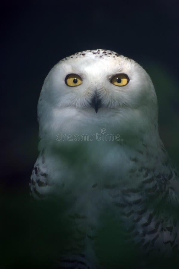 5头猫头鹰雪白色