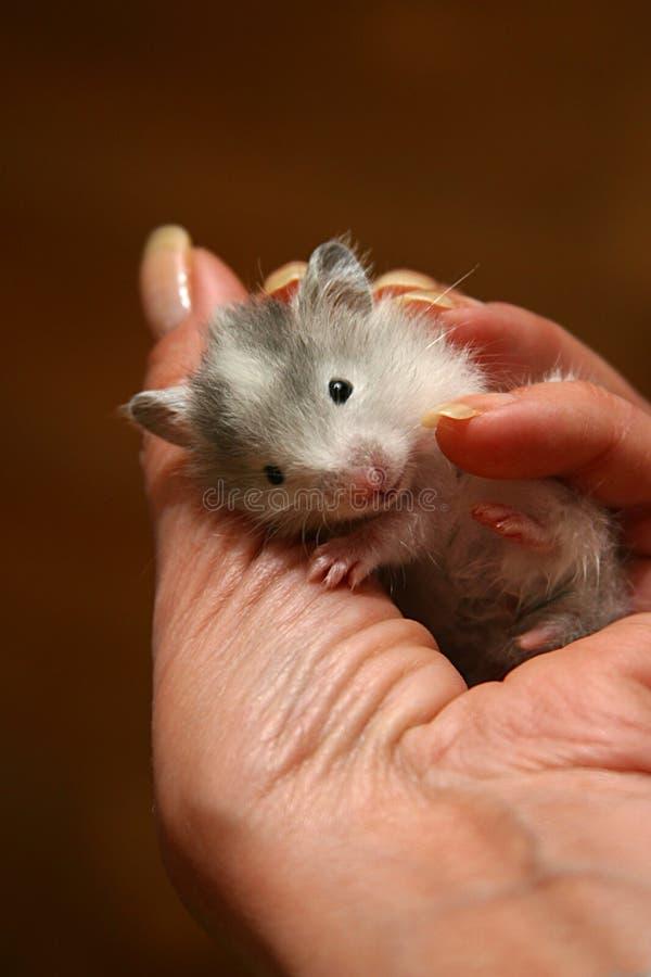 5小的仓鼠 库存照片