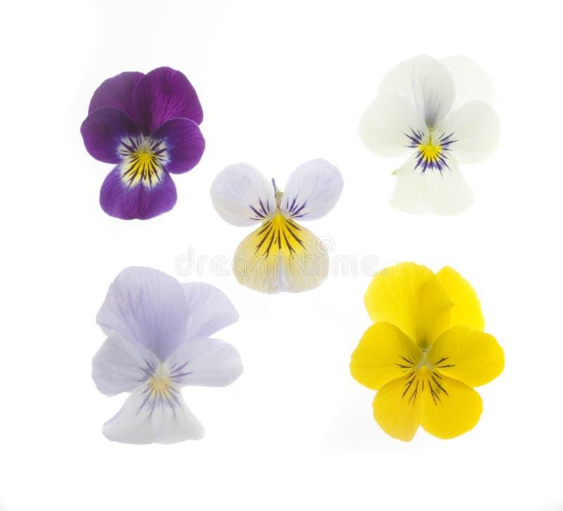 5朵蝴蝶花 库存照片
