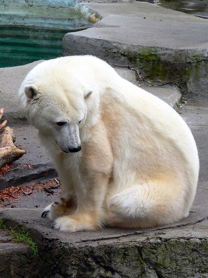 5极性的熊 免版税库存照片