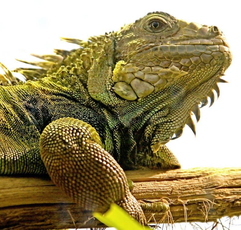 5绿色鬣鳞蜥 库存图片