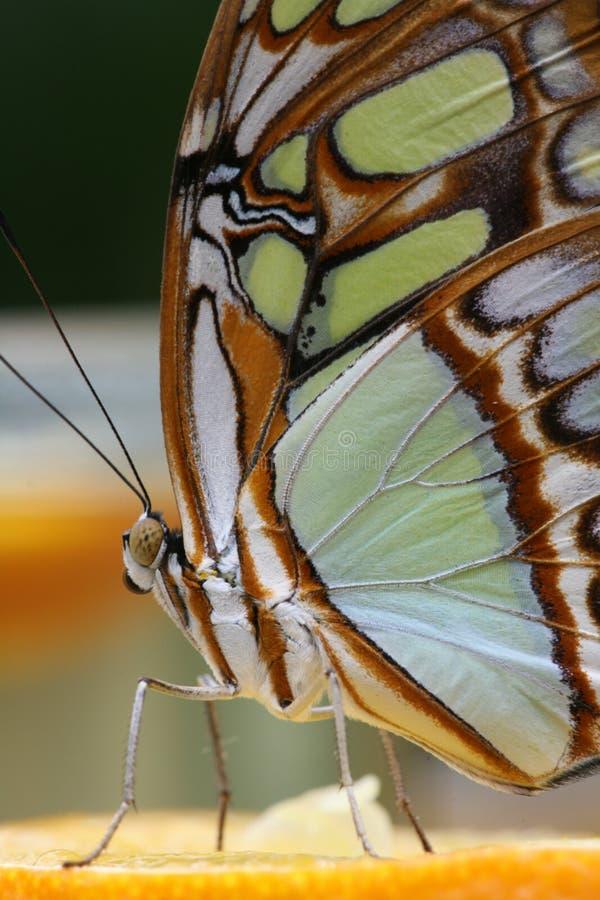 5蝴蝶 库存图片