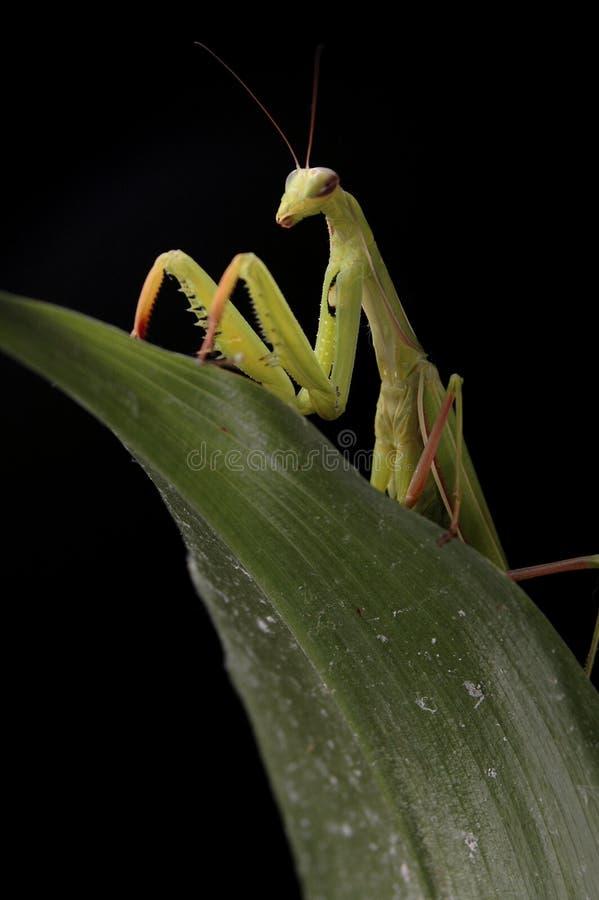 5螳螂 库存图片