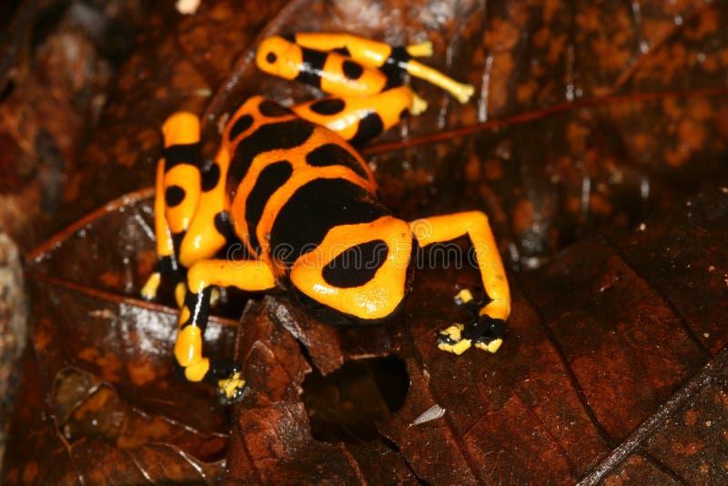5青蛙朝向毒物黄色 图库摄影