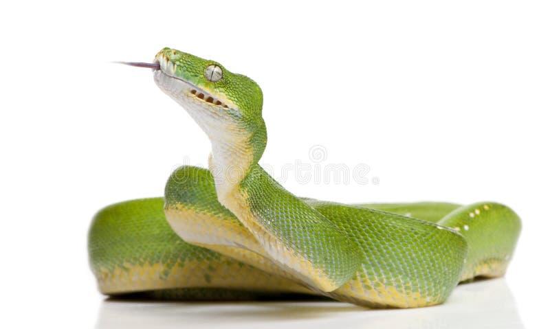 5 зеленых лет viridis вала питона morelia старых стоковая фотография