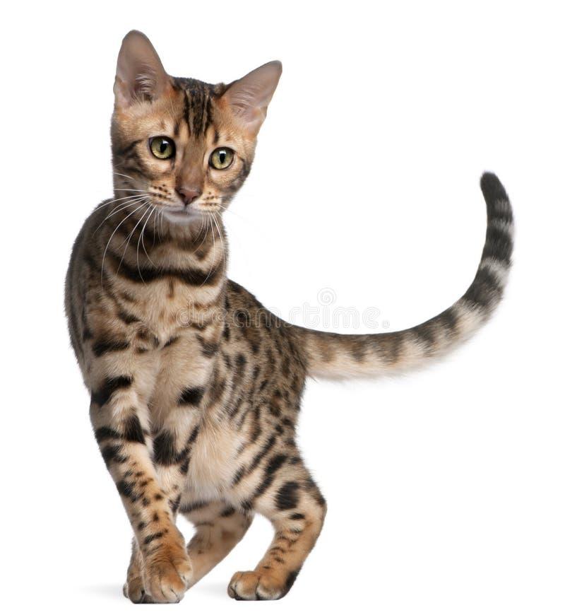 5 месяцев котенка Бенгалии старых стоковое изображение rf