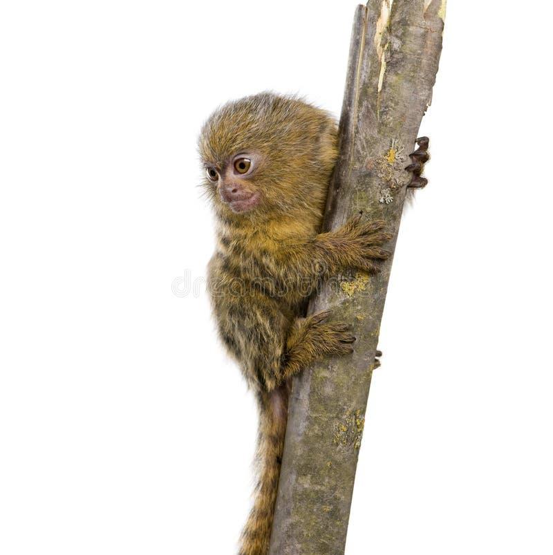 5 неделей пигмея p marmoset cebuella callithrix стоковое фото rf