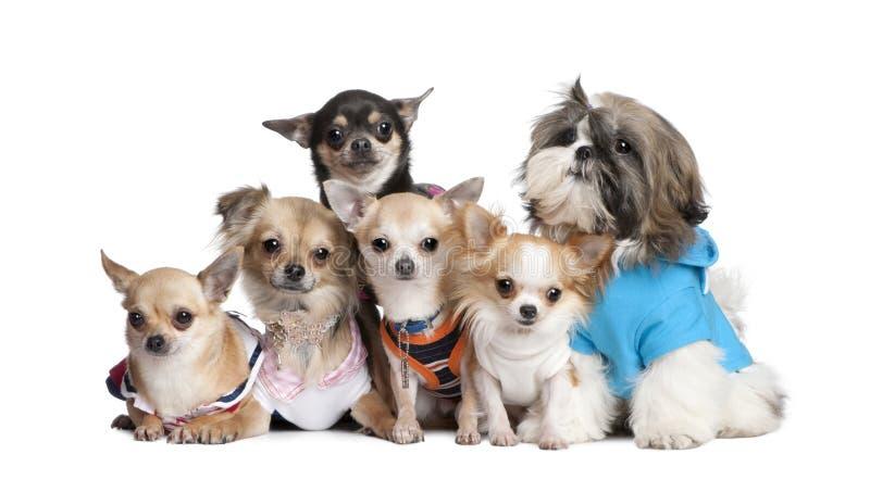 5 одетьнных собак чихуахуа собирают shi вверх стоковое изображение rf