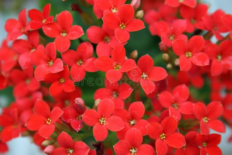 5 цветков красных стоковое фото