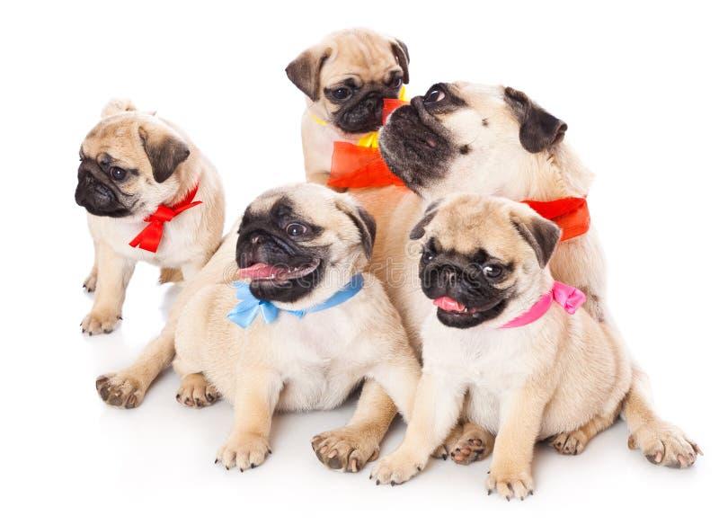 5 щенят pug стоковая фотография rf