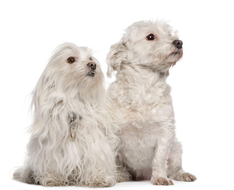 5 7 лет собак мальтийсных старых сидя стоковая фотография