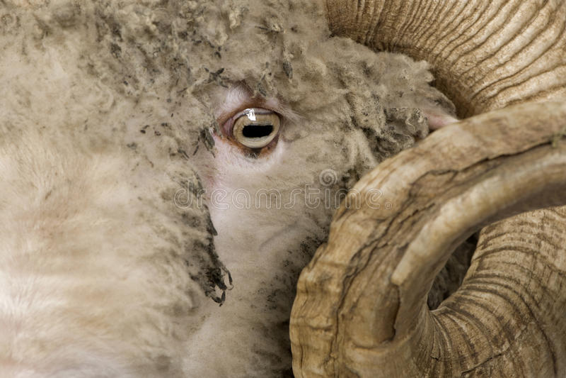 5 arles关闭几年的美利奴绵羊的老公羊绵 免版税库存图片
