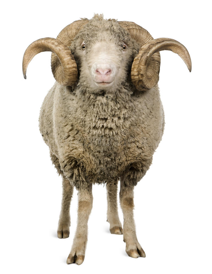 5 arles美利奴绵羊的老公羊绵羊年 图库摄影