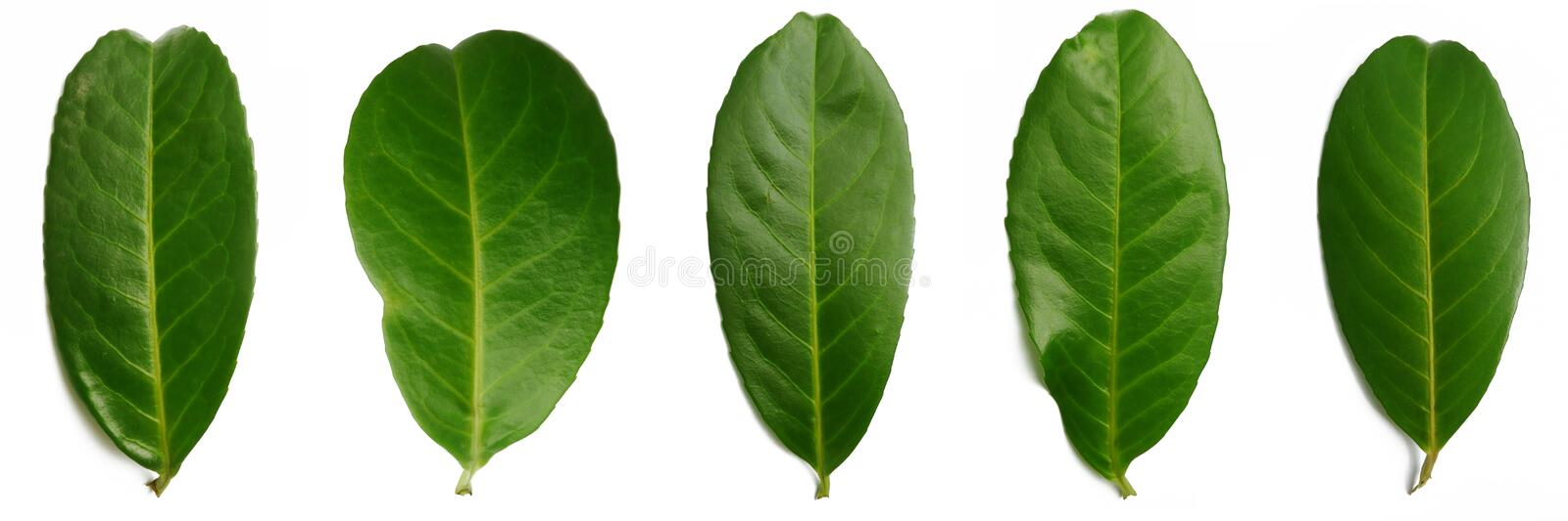 5 bay leafs royalty free stock photography