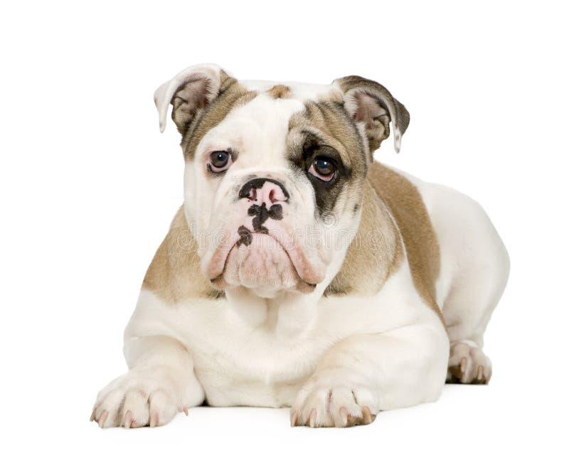 5 bulldoggengelskamånader arkivbild