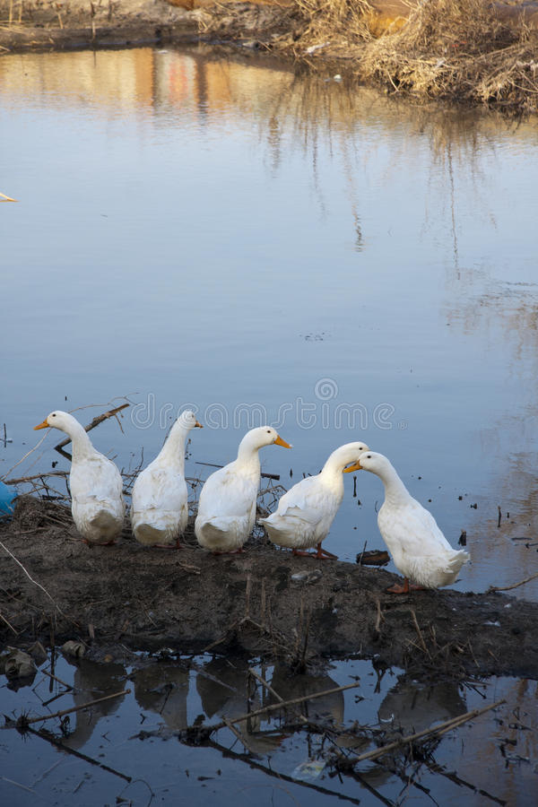 5 canards sauvages photo stock