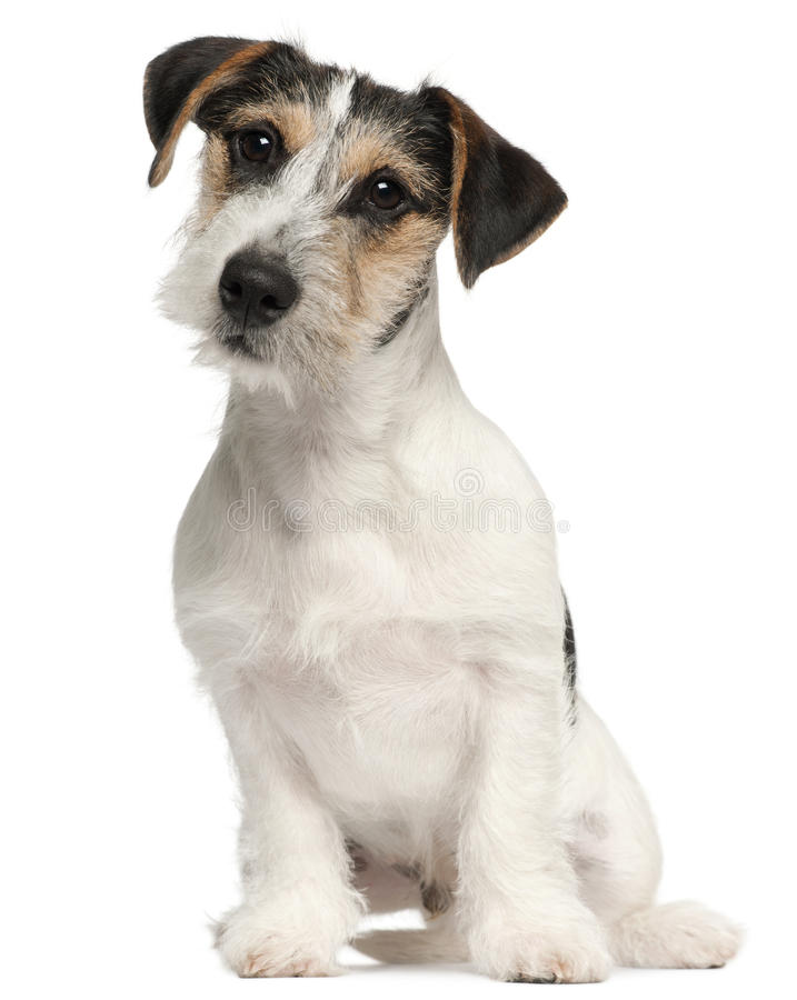 5 dźwigarki miesiąc stary szczeniaka Russell terier fotografia stock