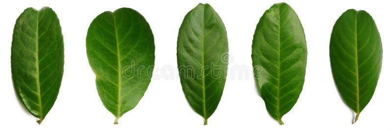 5 feuilles de laurier photographie stock libre de droits