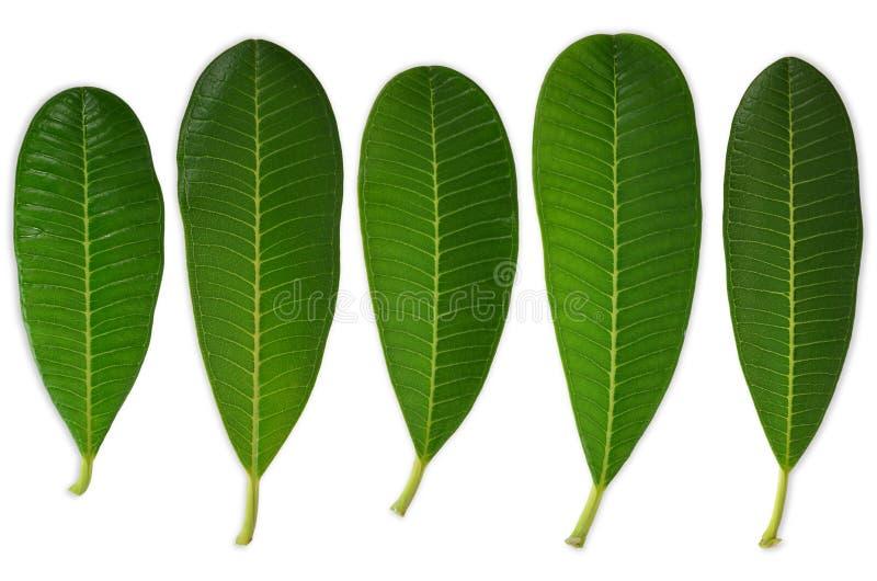 5 hojas del plumeria imagen de archivo libre de regalías