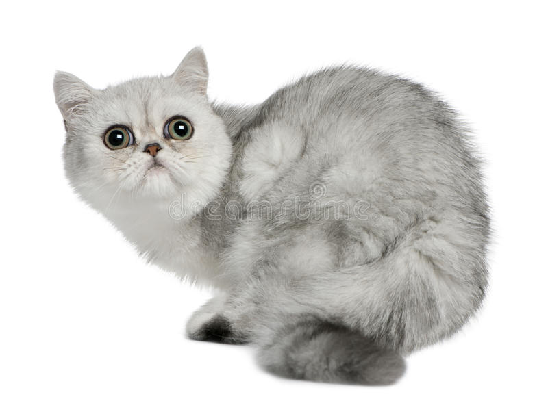 5 kota egzotycznych miesiąc stary shorthair obsiadanie zdjęcie stock