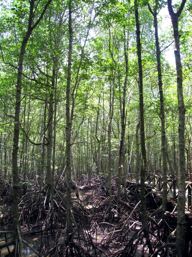 5 mangrowe obraz royalty free