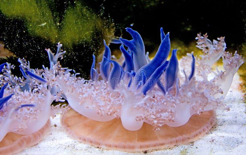 5 meduz. zdjęcia stock