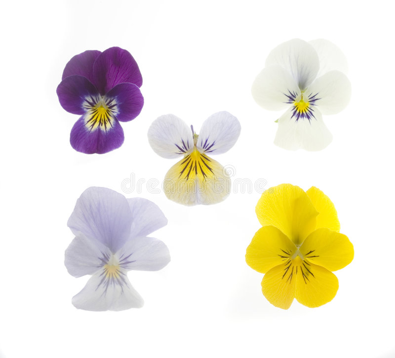 5 Pansies foto de stock
