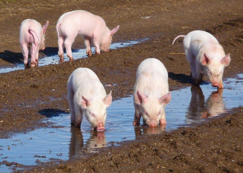 5 piglets stock photography
