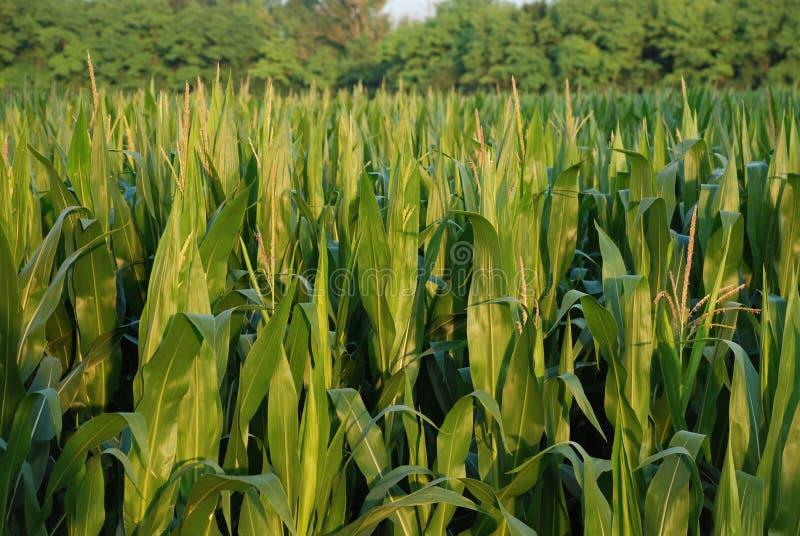 5, pole kukurydzy obrazy royalty free