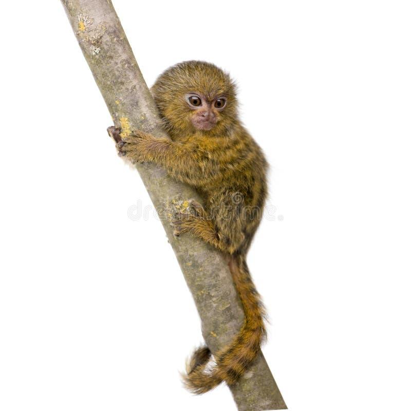 5 pygmy εβδομάδες marmoset στοκ εικόνες με δικαίωμα ελεύθερης χρήσης